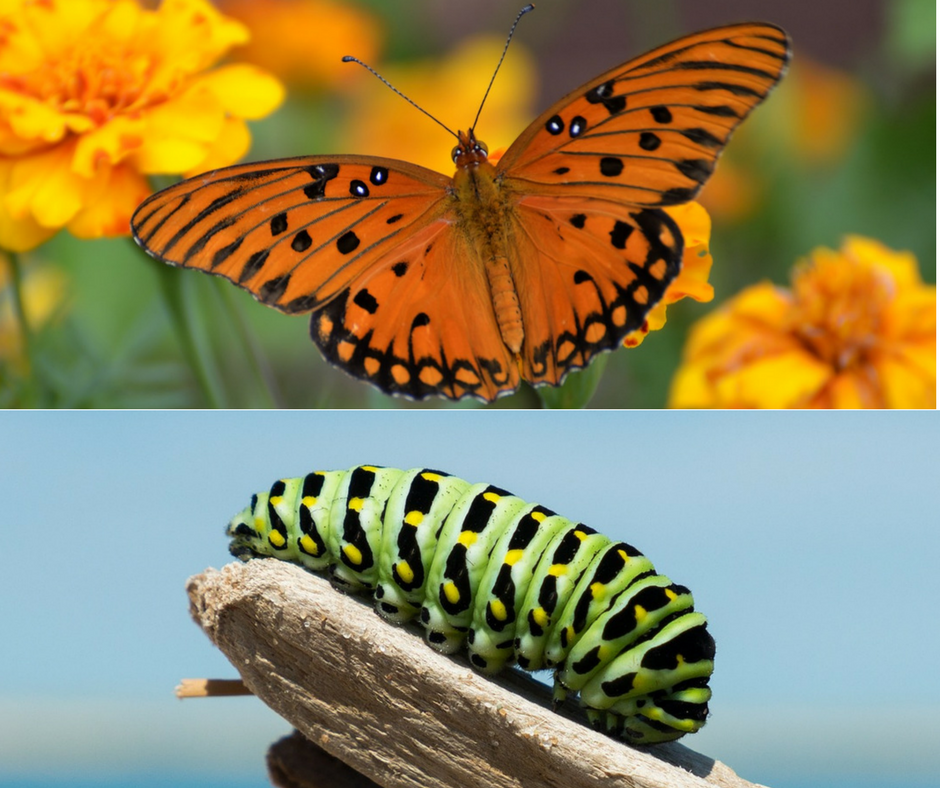 Starting over. Caterpillar changes into a butterfly.